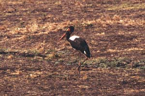 Männlicher Sattelstorch. Katavi National Park, Tansania. / Male saddle-billed stork. Katavi National Park, Tanzania. / (c) Walter Mitch Podszuck (Bwana Mitch) - #010903-49