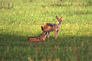 Ein Paar Schabrackenschakale auf Chief's Island, Moremi Game Reserve, Botsuana. / A pair of black-backed jackals on Chief's Island, Moremi Game Reserve, Botswana. / (c) Walter Mitch Podszuck (Bwana Mitch) - #991227-167
